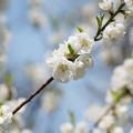神代植物公園【ハナモモ:寒白】4