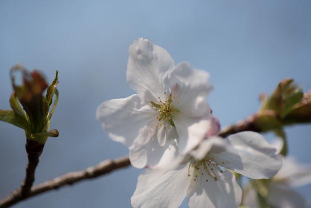 神代植物公園【桜:寒咲大島】4