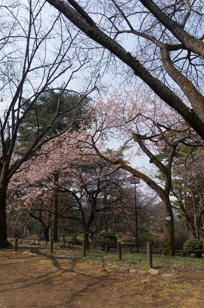 神代植物公園【桜:大寒桜】1