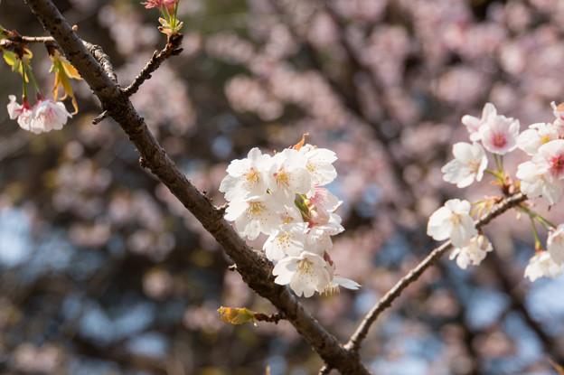神代植物公園【桜:大寒桜】4