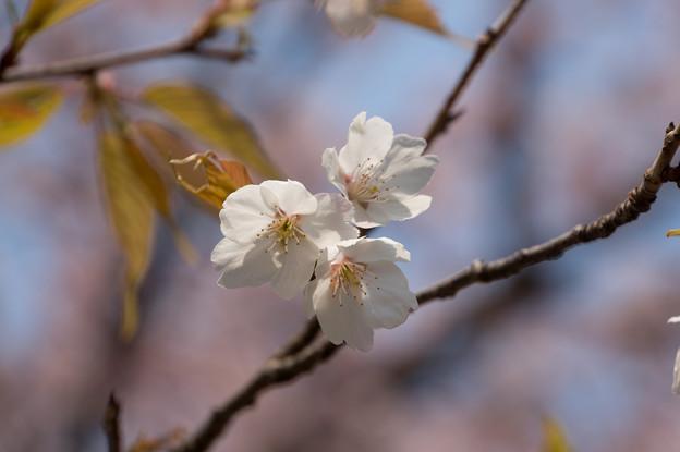 神代植物公園【桜:大寒桜】5