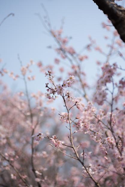 神代植物公園【桜:東海桜】1