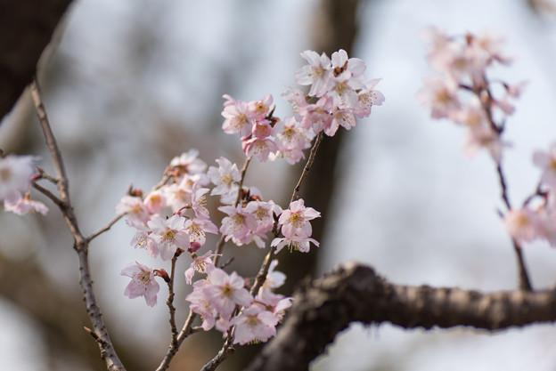 神代植物公園【桜:東海桜】3