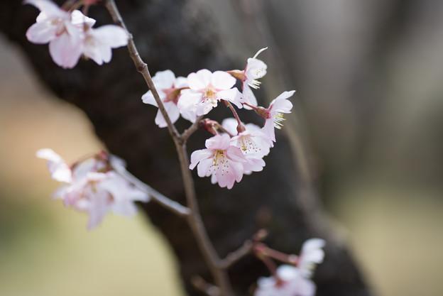 神代植物公園【桜:東海桜】4