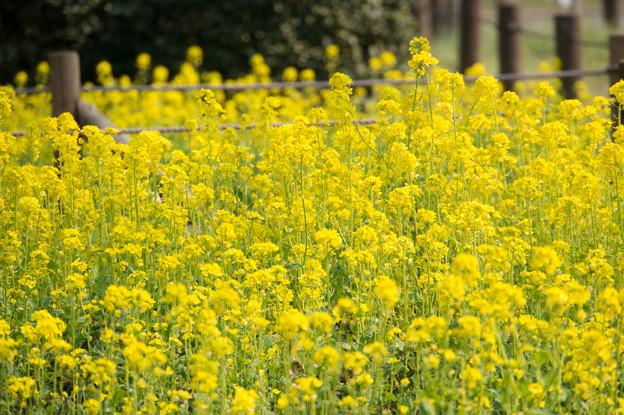 神代植物公園【菜の花】1