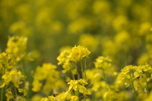 神代植物公園【菜の花】4
