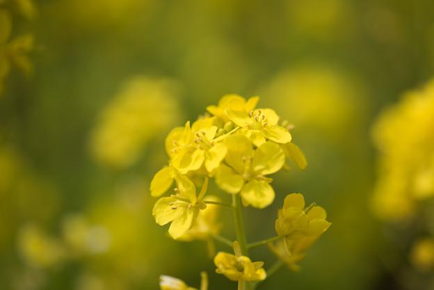 神代植物公園【菜の花】5