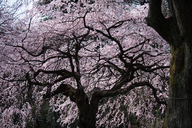 新宿御苑【桜:枝垂れ桜】5