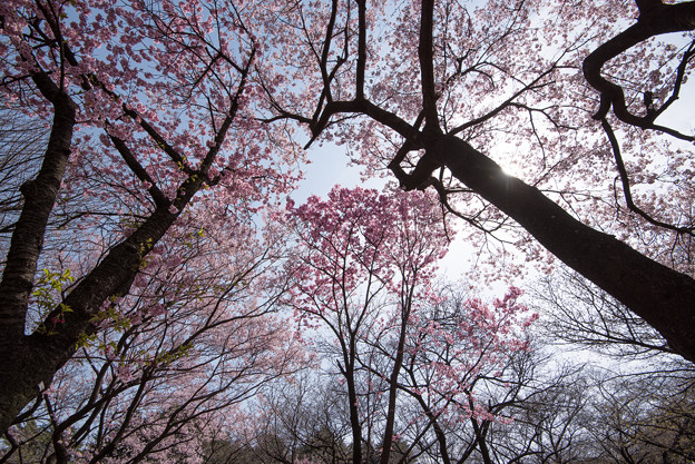 新宿御苑【桜林】4