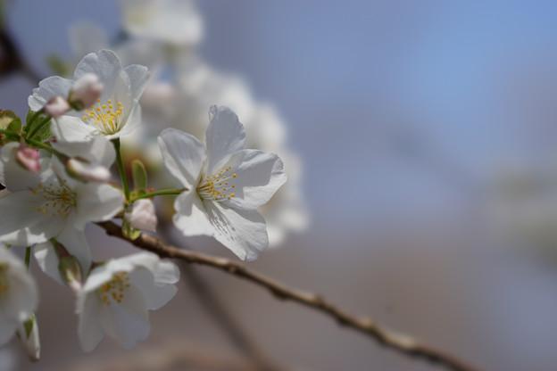 新宿御苑【桜:大島桜】3