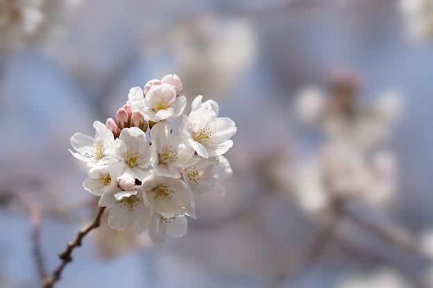 新宿御苑【桜:染井吉野】5