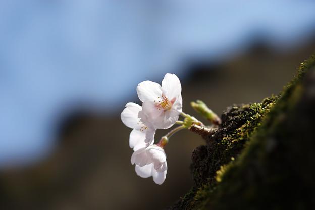 新宿御苑【桜:染井吉野】6