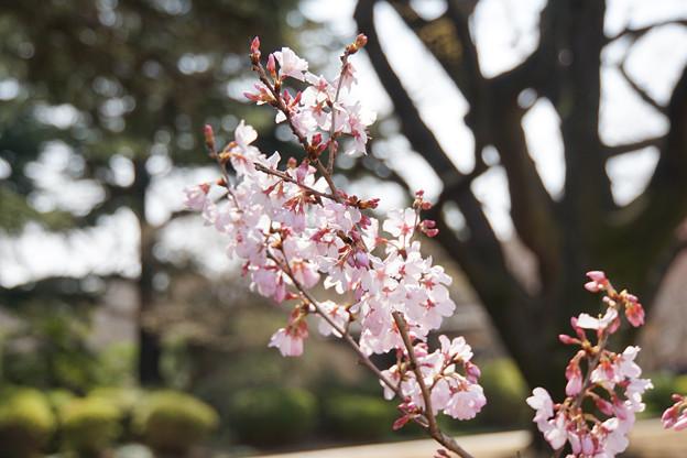 新宿御苑【桜:小彼岸】2