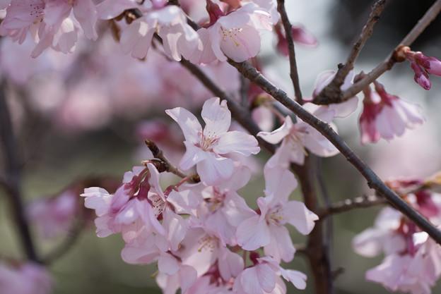 新宿御苑【桜:小彼岸】3