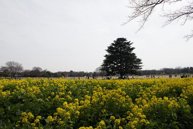 昭和記念公園【菜の花】1