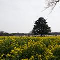 Photos: 昭和記念公園【菜の花】1