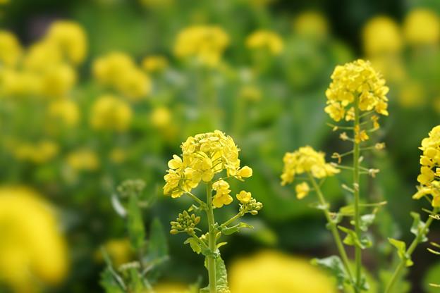 昭和記念公園【菜の花】6