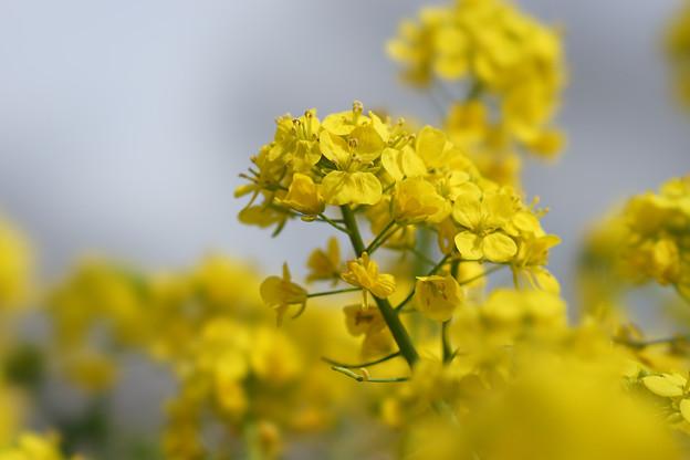 昭和記念公園【菜の花】8