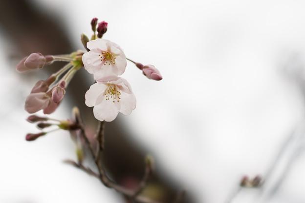 テリタビーズ公園【桜:染井吉野】2