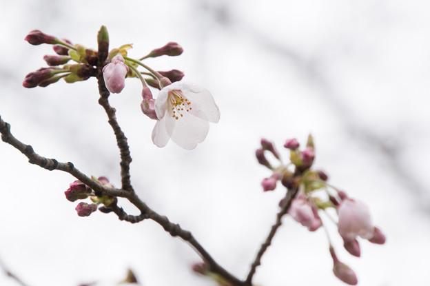 テリタビーズ公園【桜:染井吉野】4