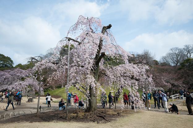 小石川後楽園【桜:馬場桜】2