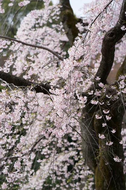 小石川後楽園【桜:馬場桜】4