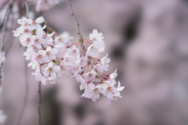 小石川後楽園【桜:馬場桜】5