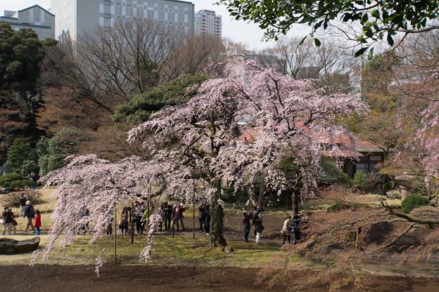 小石川後楽園【桜:枝垂れ桜】2
