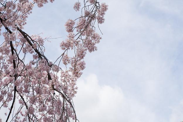 小石川後楽園【桜:枝垂れ桜】4