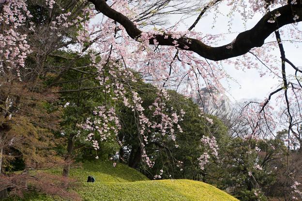 小石川後楽園【桜:枝垂れ桜(大堰川沿い)】3