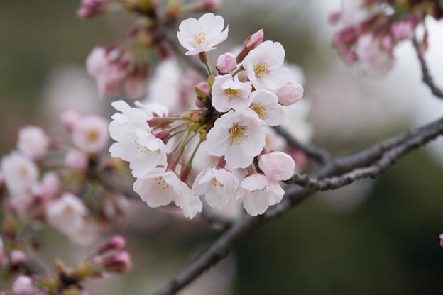 小石川後楽園【桜:染井吉野】2