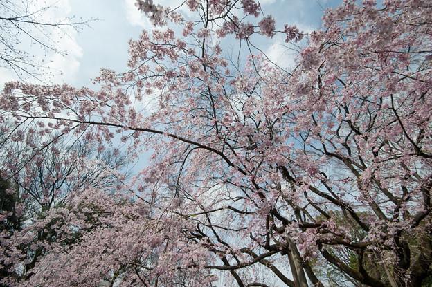 六義園【桜:枝垂れ桜】2