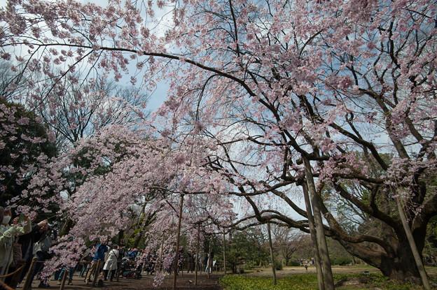 六義園【桜:枝垂れ桜】3