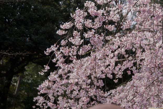 六義園【桜:枝垂れ桜】5