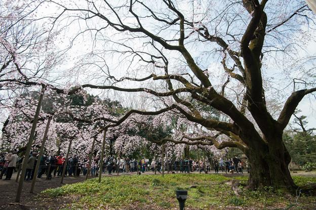 六義園【桜:枝垂れ桜】6