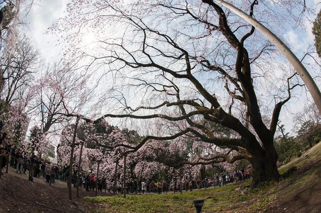 六義園【桜:枝垂れ桜】7
