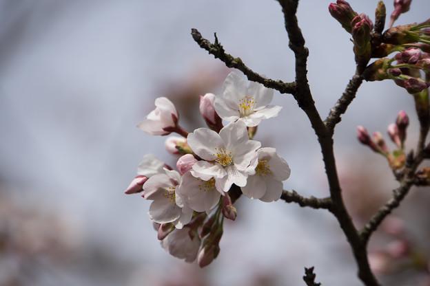 六義園【桜:染井吉野】4