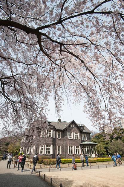 旧古河庭園【洋館と桜】1