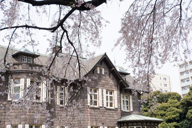 旧古河庭園【洋館と桜】4