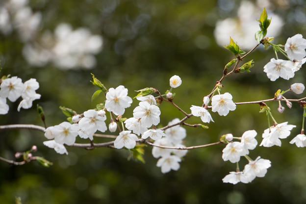旧古河庭園【桜:大島桜】3