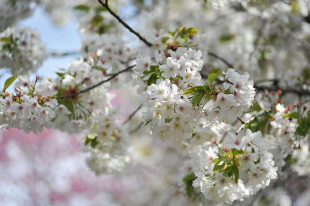 新宿御苑【大島桜:タム9】1