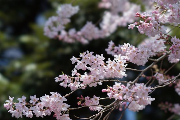 新宿御苑【江戸彼岸:STF】2