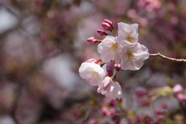 新宿御苑【桜:アメリカ】6
