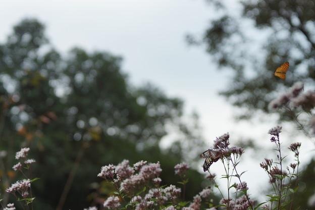 おいでませ山口へ~周南西緑地公園のアサギマダラ(浅葱斑) その2