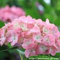 IMG_7980第二紫陽花苑・紫陽花