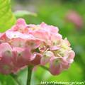 IMG_7990第一紫陽花苑・紫陽花