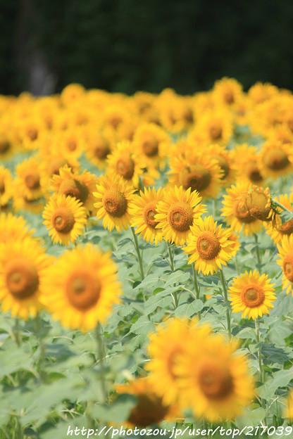 IMG_8508与謝野町ひまわりフェスティバル・向日葵