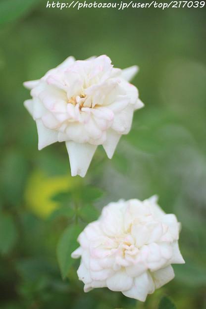 IMG_9416ばら庭園・シンデレラ