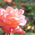 Photos: IMG_9587ばら庭園・フロージン'82