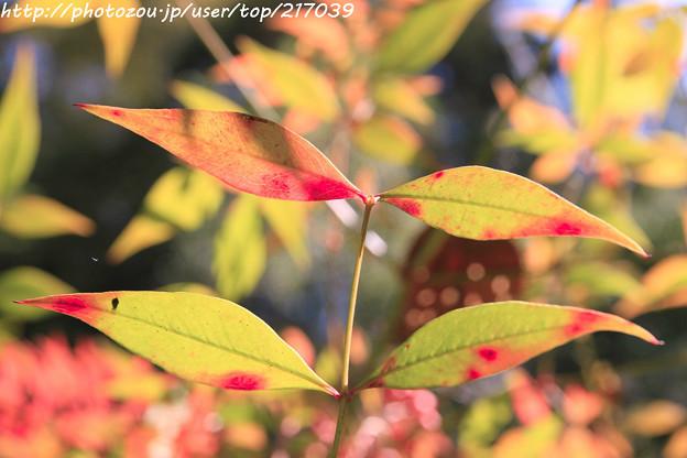 IMG_9775正暦寺・南天の葉の紅葉